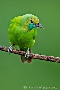 Female Golden-fronted Leafbird, Kanakapura Road, Karnataka. By Santhosh Gujar Photography