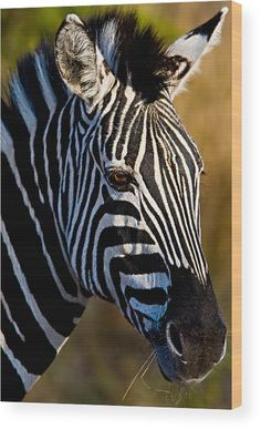 Zebra Wood Print by Basie Van Zyl. All wood prints are professionally printed, packaged, and shipped within 3 - 4 business days and delivered ready-to-hang on your wall. Choose from multiple sizes and mounting options. Beautiful Creatures, Animals Beautiful, Animals And Pets, Cute Animals, Wild Animals, Baby Zebra, Animal 2, African Animals, Fauna