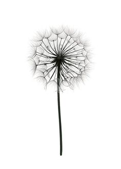 Poster with black and white photograph of a dandelion. Poster with black and white photograph of a dandelion. The post Poster with black and white photograph of a dandelion. appeared first on Fotografie. Black And White Posters, Black And White Prints, Black White Art, Black And White Drawing, Pretty Black, Botanical Prints, Botanical Tattoo, Picture Wall, Print Poster