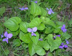 Flower of my home province,New Brunswick.  <3 Purple Violets by freddyfoyle, via Flickr