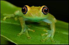 Boophis veridis Madagascar.by Paul Bratescu Photography