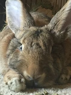 Flemish Giant. Honestly the sweetest, biggest, cuddliest rabbits ever. I will have one again someday :)