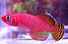 Notho.korthausae Mafia Killifish (killiefish) eggs at Aquarist Classifieds