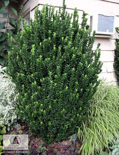 Euonymous japonica 'Green Spire'' This is a stunning evergreen shrub with deep green glossy foliage that remain dark green through the winter. This would be a good one to replace the privet near the front door and repeat along the side of the house. Shade Shrubs, Plants, Shrubs, Privacy Plants, Privacy Landscaping, Trees To Plant, Front Garden, Garden Supplies, Home Landscaping