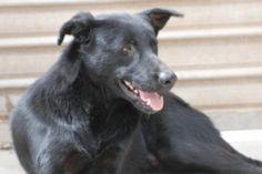 Igor es un perro de tamaño mediano-grande y de pelo negro, largo y muy brillante. Se nota que est muy...