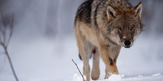 Mit den Wölfen kehren auch alte Vorurteile zurück. Es an der Zeit, damit aufzuräumen. Was stimmt wirklich über Wölfe