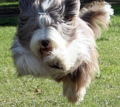 Bearded Collie - my favorite dog :)