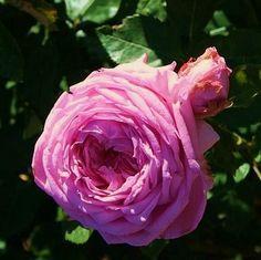 Synthetic Pink®, Introduite en Europe par Daniel Schmitz en 2014. L'arbuste au feuillage vert mat est érigé. Ses fleurs au look de roses anciennes ont un parfum fruité. Elles se renouvellent durant toute la saison. Parents: Charles Austin x semis. h 120cm