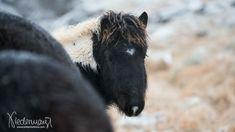 Panther, Animals, Iceland Landscape, Animales, Animaux, Panthers, Animal, Animais, Black Panther