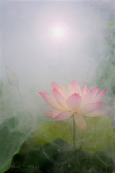 Lotus Flower | by Bahman Farzad
