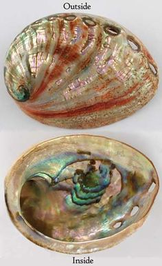 Red Abalone Shell incense Burner Polished