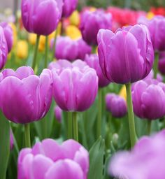 Triumph tulips are amongst the most popular tulips on the market, and have an immense selection of cultivars to choose from. To keep things simple we have broken down the key points that will help influence your decision on which tulips to plant…
