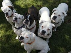 """The Boxer Rebellion White Boxers - I say: You don't know what boxer love is, till you get a sweet white boxer! Tragic as it sounds, as late as the 70's in US, vets and breeders often """"put down"""" white boxers as they could not be registered. My dad rescued two from breeders and they were the sweetest (next to my recent Dalmation of course!) Rescued dogs love you the best!"""