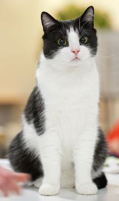 Beautiful Black and White American Shorthair!