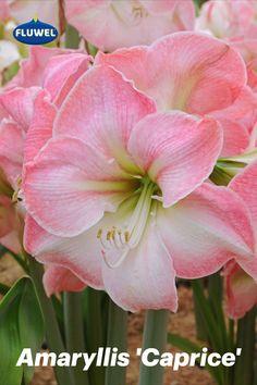 Die Amaryllis 'Caprice' erinnert an die Blüte eines Japanischen Kirschbaums, die sich zum Ende des Frühjahrs zeigt. Ihr prächtiges Farbenspiel mit verschiedenen Rosatönen ist eine wahre Augenweide. 'Caprice' ist eine reich blühende und zuverlässige Amaryllis, die fast immer drei Triebe bildet. Amaryllis, Flowers, Plants, Pink, Japanese Cherry Tree, Daffodils, Dahlias, Plant, Royal Icing Flowers