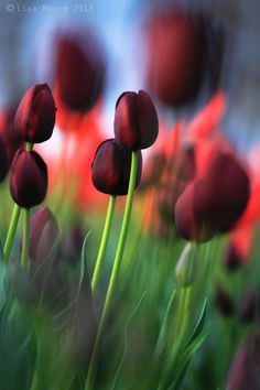 Burgundy color tulips