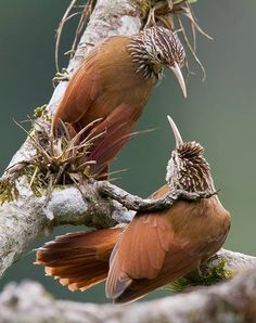 Streak-headed Woodcreepers (Lepidocolaptes souleyetii)