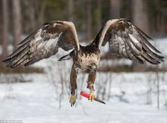 White Wolf: The golden eagle who carries a KNIFE
