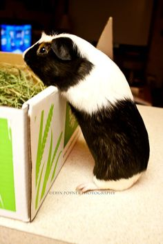 Bullwinkle So Excited He's Gonna Climb Into His New Box Of Hay! ❤ http://smallpetselect.com/ ❤ Thanks goes to Erin for sharing, Bullwinkle is such a cutie! ☺☺☺