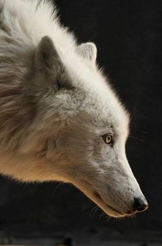What Do Arctic Foxes Eat? - What do arctic foxes eat? The Arctic fox, sometimes known as the snow fox, polar fox or white fox, - Wolf Images, Wolf Photos, Wolf Pictures, Animal Pictures, Beautiful Wolves, Animals Beautiful, Cute Animals, Tier Wolf, Wolf Hybrid