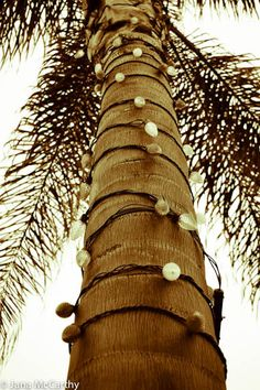 Warm Weather Christmas lights for the palm trees or tree ferns...