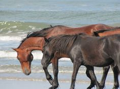 Photo from Corolla Wild Horse Fund.  Outer Banks.