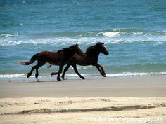 wild horses running on the beach in North Carolina