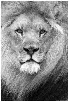 Lion. man he has an intense stare