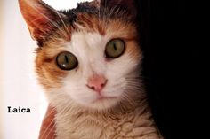 laica- ex street cat- for adoption.