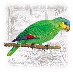 Curica (Amazona amazonica)
