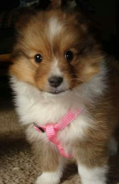 "This is the cutest sheltie pup I have ever seen. Her name is Sparkles. I sure can see why just look at that face. You can't help but smile. She is 6 weeks old. Saw her on Facebook site ""Super Shetland Sheepdogs"" and totally fell in love with her. I know her forever mommy knows how lucky she is, she struck gold with this one. Would have loved to adopt her myself. I♥You precious Sparkles!!"