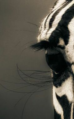...But trust me when I tell you that the zebra is real. Somewhere, the zebra is dancing. ~ Garth Stein (The Art of Racing in the Rain)