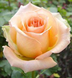 Versilia Rose