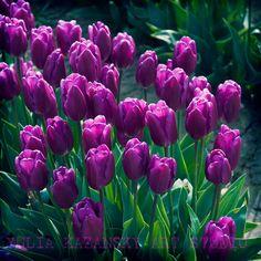 Tulip photography Purple flowers Fine Art photography print Nature photography Tulip Festival photo print Spring flowers photograph
