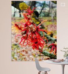 Nahaufnahme einer roten Zaubernuss-Blüte Illustration, Wreaths, Fall, Photography, Decor, Artist Canvas, Close Up Photography, Canvas Frame, Photo Wallpaper