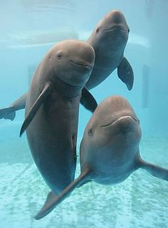 yangtze finless porpoise... a unique fresh water population of the finless dolphin found in the yangtze river of China.