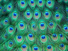 Peacock Drawings | Peacock Media Group ®
