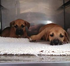 #Adoptable 6-9-14 #OwnerSurrender #Palatka #FL Male & Female puppies PCSO ANIMAL SERVICES https://m.facebook.com/story.php?story_fbid=721884904541065&substory_index=0&id=519613888101502