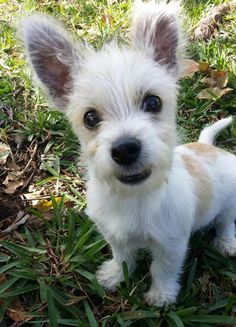 I'd like to introduce Ben! Ben is a cute #AiredaleTerrier #puppy  looking for a loving family to call his own. What do you guys think? Can we can help finding the sweet #puppy a forever home? http://www.doggielife.com/ben/dogs/KLYQVR