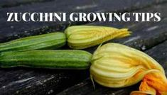 How to Grow, Harvest, Store, and Prepare Squash Blossoms - Gardening Channel Stuffed Squash Blossoms, Zucchini Plants, Best Superfoods, Reap The Benefits, Plant Diseases, Mother Nature, Cucumber, Harvest, Vitamins