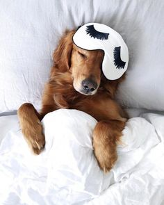 The best Sundays include sleeping in and puppy snuggles. Cute golden retriever puppy dog sleeping in bed with an eye mask. Cute Funny Animals, Cute Baby Animals, Funny Dogs, Animals And Pets, Perros Golden Retriever, Golden Retrievers, T Shirt Chien, Cute Dogs And Puppies, Doggies