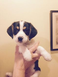 Top Small Beagle Adorable Dog - 43a53785939f86a6c3bc350c57067b3a--ratchet-clovers  Picture_183327  .jpg
