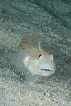 Gobie ...Diamond Gobie. A naturally shy fish, Gobies prefer reef aquariums with plenty of hiding spaces.  Their bright coloration make them an attractive addition. While the Diamond Goby is peaceful, it is territorial and may become aggressive with other Gobies.  The Diamond Goby is white with orange spots.