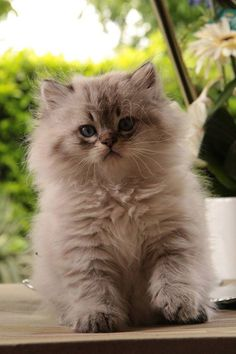 British longhair seal golden tabby point kitten…