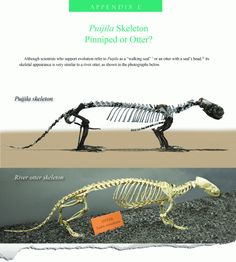 Another major 'link' fails  Puijila, claimed ancestor of pinnipeds is an otter