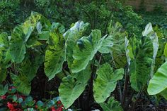 """Mojito Colocasia esculenta If you're looking to add another wild and crazy elephant ear to your garden, drink up. (pronounced """"Mo-he-toe"""") Named after the popular Cuban mixed drink.  You must grow this plant—if only to be able to tell everyone that you have a mojito waiting for them in the garden.  Its green leaves are set off by dark flecks and purple stems.  The speckled patterns, splotches, and streaks vary from leaf to leaf, so no two ever look quite the same. Elephant Ears, Mixed Drinks, Mojito, Stems, Cuban, Green Leaves, Container Gardening, Waiting, Toe"""