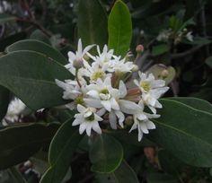 """Drimys winteri """"jasmine scent"""""""