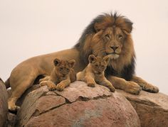 "deepsoulfury: ""The Father happy with lion cubs "" Beautiful Lion, Animals Beautiful, Lion Pictures, Animal Pictures, Cute Baby Animals, Animals And Pets, Big Cats, Cute Cats, Lion Family"
