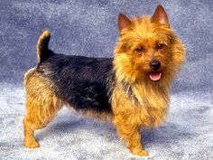 The Australian Terrier is descended from the rough coated type terriers brought from Great Britain to Australia in the early 19th century. The ancestral types of all of these breeds were kept to eradicate mice and rats. The Australian Terrier shares ancestors with the Cairn Terrier, Shorthaired Skye Terrier, and the Dandie Dinmont Terrier; Yorkshire Terriers and Irish Terriers were also crossed into the dog during the breed's development.