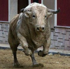 Bull - Running with the Bulls is disgraceful and shows the idiocies of the human's who run, to the human's who organises the runs & the people who pay to watch. All keeping a disgraceful act of cruelty going. STOP SUPPORTING ANIMAL ABUSE